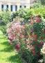 Ab Juni blüht im Garten der Oleander