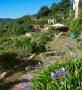 Agapante-Blueten im August