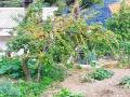 Der Aprikosenbaum im Garten
